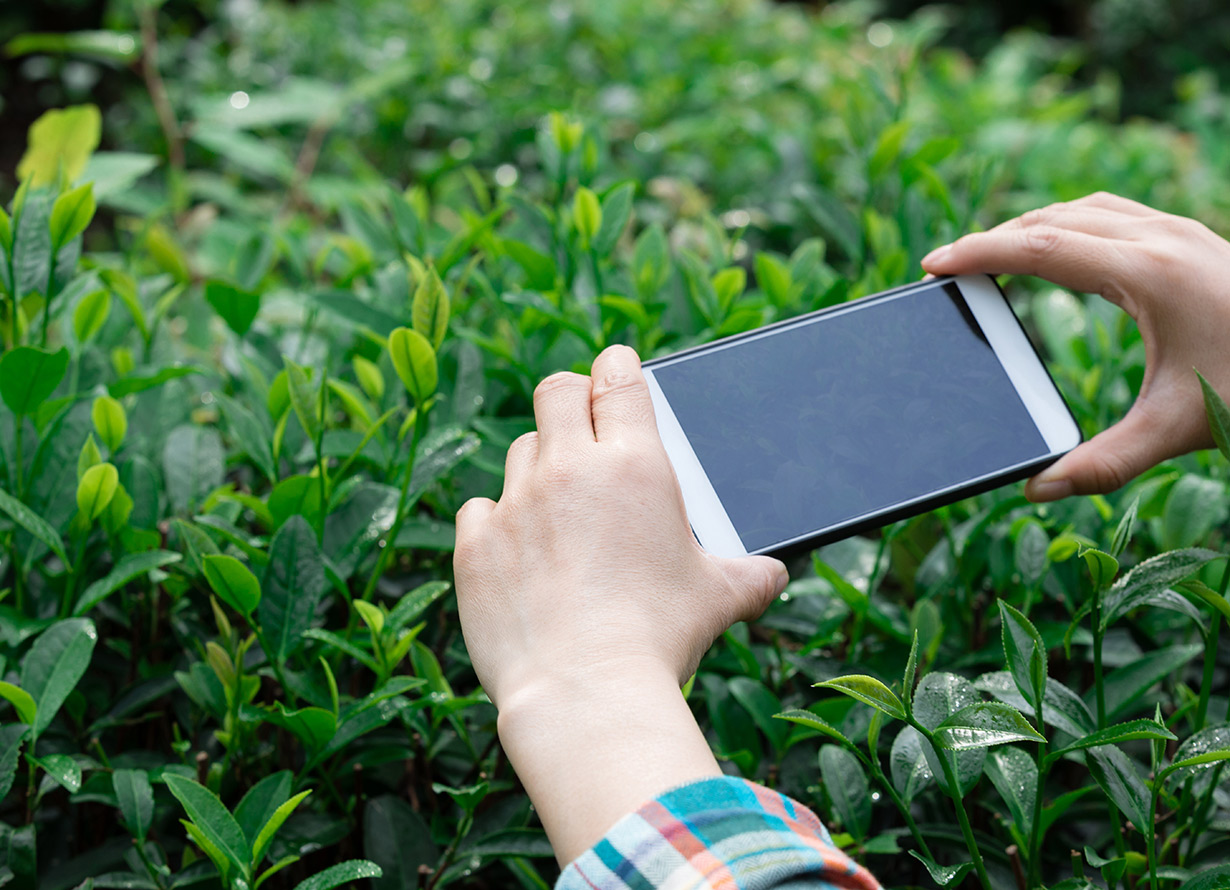 Foto em detalhe de mãos fotografando um canteiro de flores com o celular (crédito: lzf – iStock)