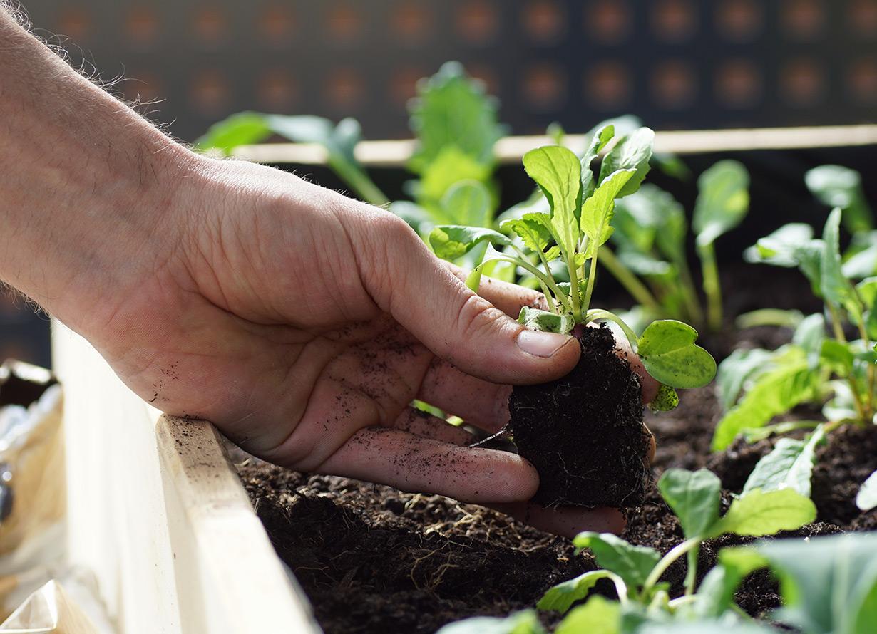 Foto em detalhe de mão plantando uma muda de planta em uma horta