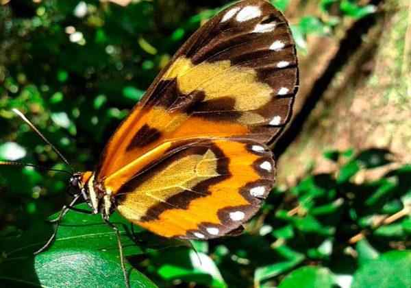 Foto de uma borboleta amarela e marrom sobre uma folha.
