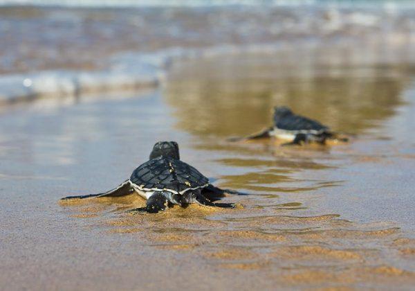 Foto de duas pequenas tartarugas indo em direção ao mar