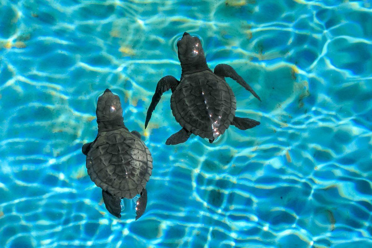 Foto de dois filhotes de tartaruga marinha